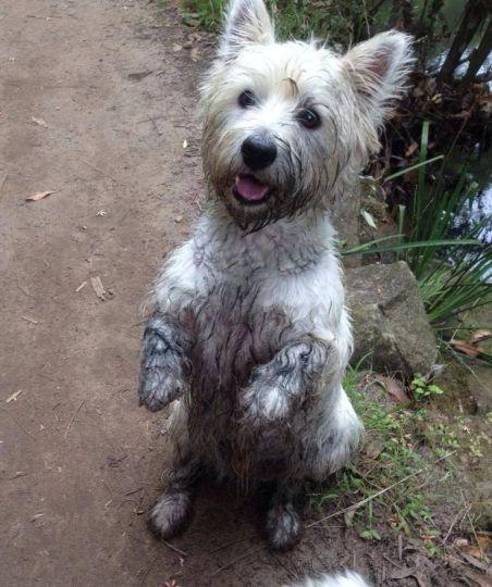Muddy Westie