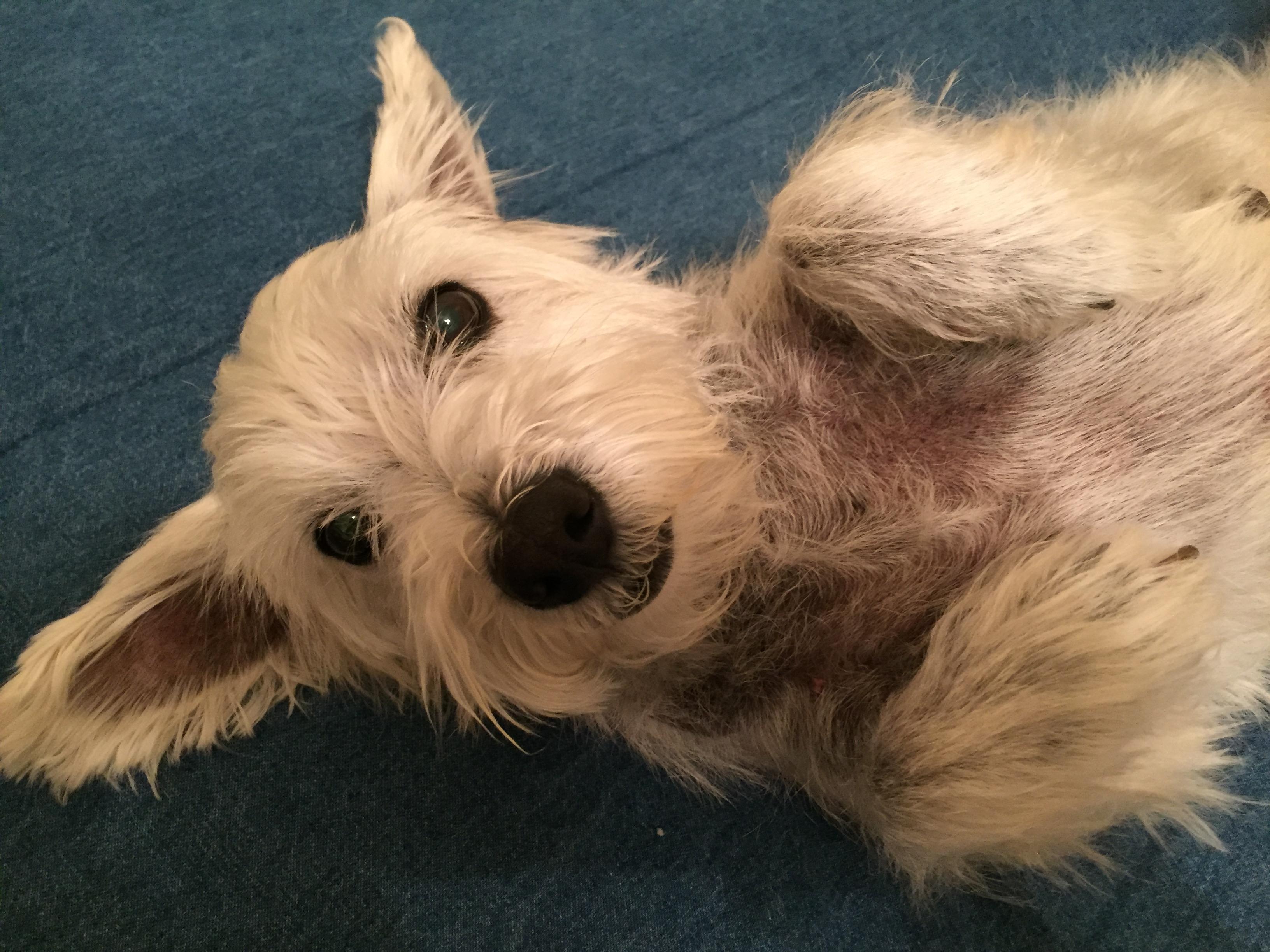 West Highland Terrier Brown Lone Star Westie...
