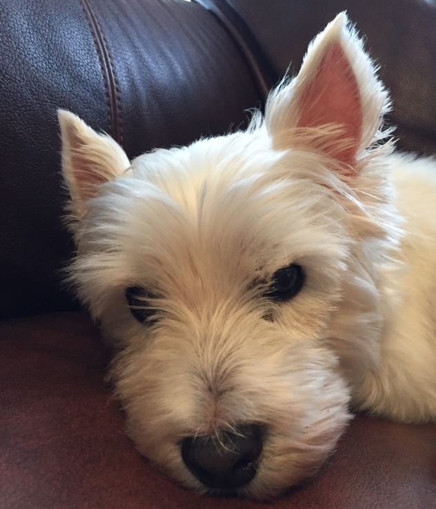 Gracie Adopted Lone Star Westie Rescue