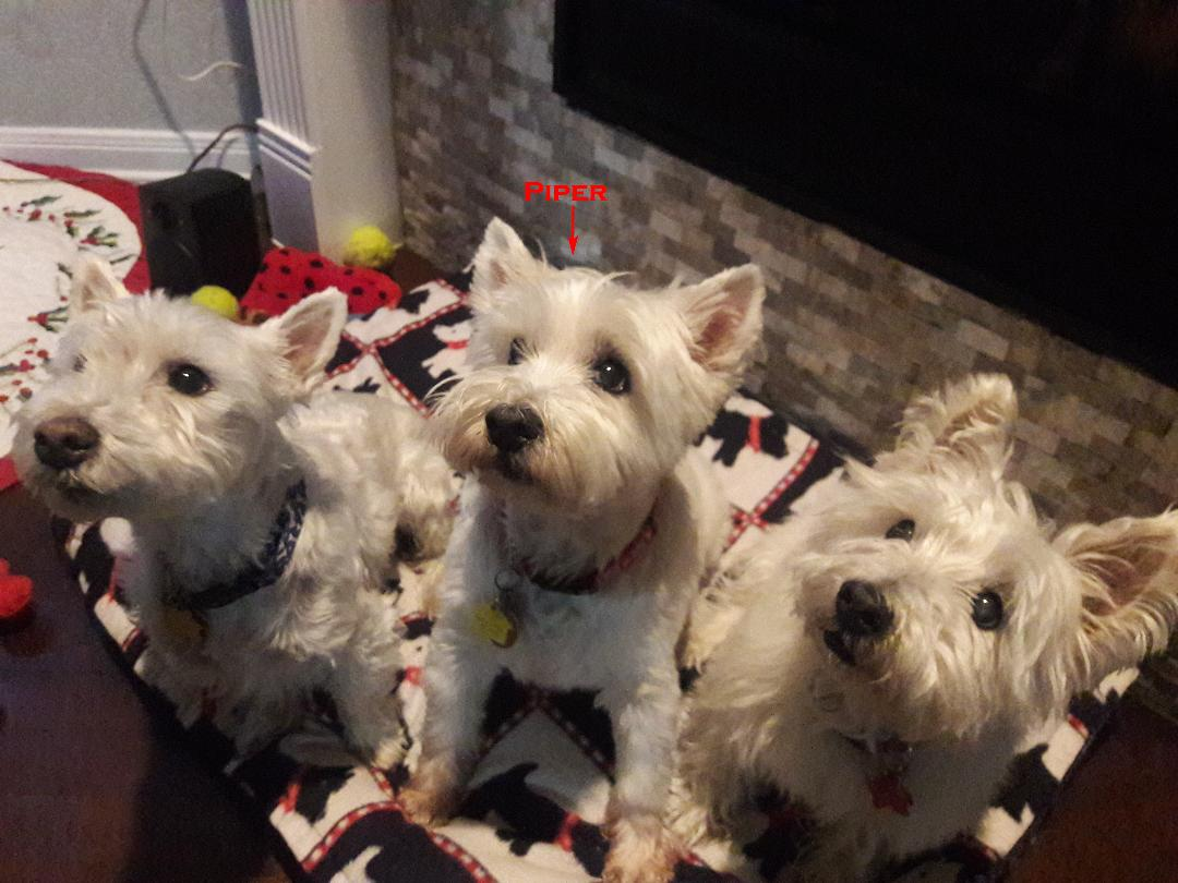Lone Star Westie Rescue | Helping Westies in Need