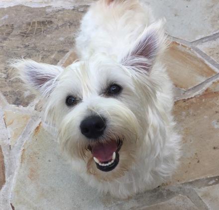 Lone Star Westie Rescue | Helping Westies in Need
